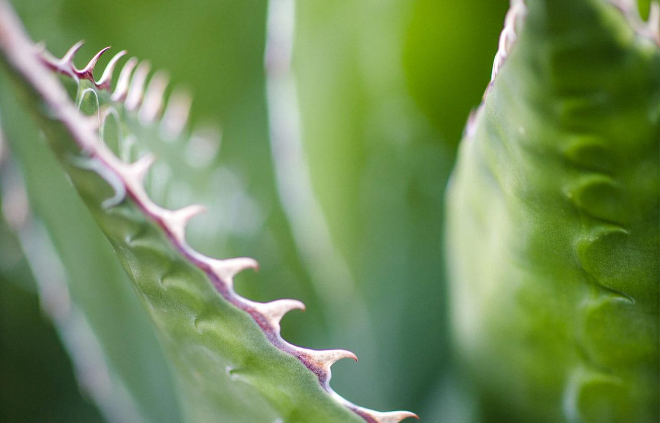 Close up shot of aloe vera leaves